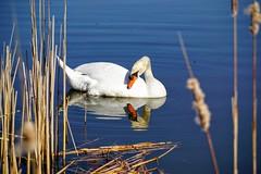 Swan (AncasterZ) Tags: reflection bird swan wildlife waterfowl muteswan