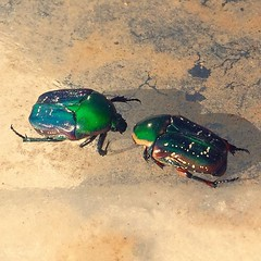 Found these two beetle friends of mine today. Sadly, they tried to swim unsuccessfully on a pool, but they looked gorgeous as hell. #beetles #oilslick #scarab #itsasign #iridescent (ClevrCat) Tags: friends two pool swim found mine gorgeous hell beetle they iridescent but these beetles today looked tried sadly scarab oilslick unsuccessfully itsasign instagram ifttt