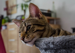 DSC_0116-1 (chat_44) Tags: cat chat animaux yoshi chaton flin miaou tigr rwing