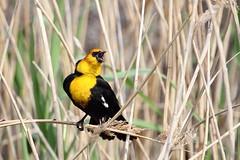 Yellow-headed blackbird, Xanthocephalus xanthocephalus (jlcummins - Washington State) Tags: bird wildlife pacificnorthwest washingtonstate yellowheadedblackbird wallawallacounty
