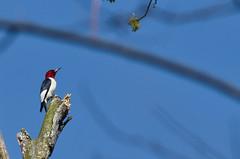 Red-Headed Woodpecker (ramseybuckeye) Tags: life park county ohio red art woods woodpecker allen pentax district johnny headed kendrick appleseed metropark