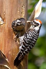 IMG_0283 Female Ladder-backed Woodpecker and Male at nest hole (lois manowitz) Tags: arizona birds tucson woodpeckers nests