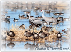 Crowded (ctofcsco) Tags: usa nature birds canon iso100 geese colorado outdoor wildlife ducks cranes explore telephoto 7d vista northamerica marsh monte f4 alamosa 400mm 2016 supertelephoto 11250s ef400mm ef400mmf28liiusm 7dmark1 7dmarki