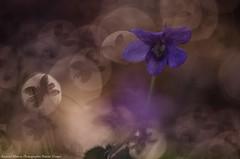 Pense qui papillonne (Manonlemagnion) Tags: flower macro nature fleurs pense sauvage violette sousbois 105mm28 nikond7000