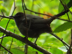 Gray Catbird (gurdonark) Tags: bird birds texas timber wildlife narrows murphy
