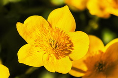 Sumpfdotterblume (Rolf Piepenbring) Tags: sumpfdotterblume marshmarigold calthapalustris kingcup