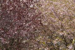 An ocean of blossoms (heikecita) Tags: tree nature cherry blossom outdoor natur panasonic blte baum kirschblte dmcgh3
