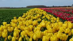UITHUIZEN, THE NETHERLANDS (pwitterholt) Tags: red holland green yellow canon spring groen tulips tulip groningen lente geel rood tulpen canonpowershot tulp tulipfields tulpenvelden uithuizen canonpowershotsx40hs canonsx40