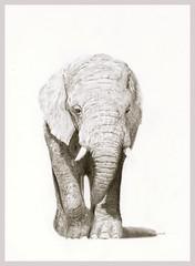 e15 (Karwik) Tags: elephant pencil pencils drawing elefant so slon owek rysunek olowek sonik
