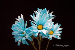 Blue Daisy Group 1208 Copyrighted (Tjerger) Tags: blue portrait brown white plant black flower macro fall nature floral beautiful beauty yellow closeup blackbackground wisconsin petals flora natural group stamen stems bunch daisy bloom pistals