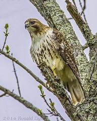 Red-tailed Hawk IMG_9611 (ronzigler) Tags: bird nature canon hawk sigma raptor redtailed avian birdwatcher 150600mm