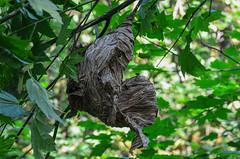 Aerial Yellowjacket Nest (ajblake05) Tags: canada britishcolumbia insects northamerica coquitlam nests lowermainland hymenoptera greatervancouver vespidae hexapoda apocrita minnekhadaregionalpark aculeata dolichovespulaarenaria aerialyellowjacket
