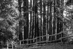 Sequoias (randyherring) Tags: california park ca trees blackandwhite bw plant monochrome fence us afternoon unitedstates outdoor saratoga vegetation redwood redwoods santacruzmountains sequoia conifer sequoiadendron sanborncountypark coniferousforest santaclaracountyparks