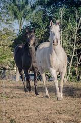 _DSC8711 (Izaias Lus) Tags: brasil caballos photography photographie cavalos equestrian equine nordeste chevaux equino haras equestre garanhunspe