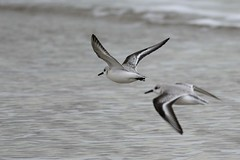 _HNS6652 Drieteenstrandloper : Becasseau sanderling : Calidris alba : Sanderling : Sanderling