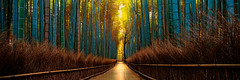 (Sunrider007) Tags: morning travel trees panorama plants reflection tree green nature wet grass rain forest sunrise canon landscape kyoto grove path pano sony traditional wide culture bamboo arashiyama vegetation sequence tse 617 a7r absolutelystunningscapes