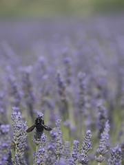Le champ des possibles (Titole) Tags: field insect purple lavender lavandes abeillecharpentière titole nicolefaton
