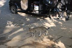 IMG_2811 Kandy Lake - stray cat (drayy) Tags: lake srilanka kandy ggg kandylake thebiggestgroupwithonlycats