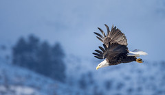 Away to the next stop (Frank O Cone) Tags: wings eagle flight baldeagle eastwenatchee