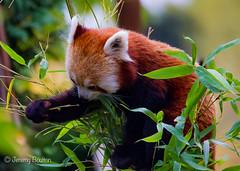 Inspector Panda (JKmedia) Tags: animal zoo tail bamboo redpanda climber captivity stripy 2015 blackpoolzoo ailurusfulgensfulgens boultonphotography