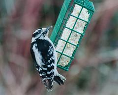 Downy Woodpecker, male (hickamorehackamore) Tags: male backyard woodpecker downywoodpecker connecticut wildlife ct habitat suet certified nwf 2016 haddam suetfeeder