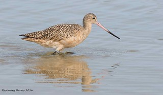 Marbled Godwit    In Explore