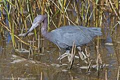 Heron, Little Blue 14-0285-Edit (Hans Spiecker Photography) Tags: texas padreisland littleblueheron