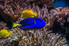 unter Wasser (Docktorfische)