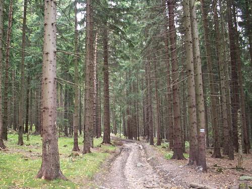 Las w okolicy Babiej Przełęczy