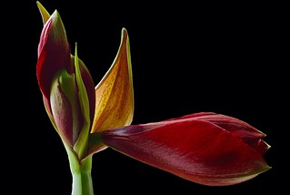 Amaryllis on Black