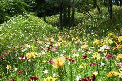 Fairyland () Tags: park plant flower nature beautiful lily  shizuoka     lilys         kasui