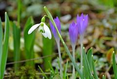 Ringing (ivlys) Tags: flowers nature blumen crocus darmstadt snowdrop krokus schneeglöckchen minigarden ivlys