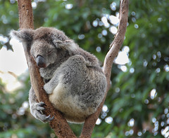 Feeling sleepy (Phil_Moore) Tags: bear sleeping color colour cute animal fur zoo furry colours sleep sydney adorable australia ears koala paws asleep marsupial claws mamal 500px ifttt