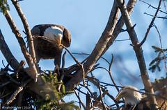 Bald Eagles of Shark River   2016 - 8 (Surreal-Journey) Tags: nature birds eagle wildlife baldeagle monmouthcounty godblessamerica jerseyshore mothernature raptors haliaeetusleucocephalus birdsofprey americanbaldeagle sharkriver nikond610 tamronsp150600mmf563divcusd