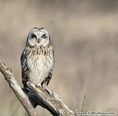 Short eared Owl (snapp3r) Tags: uphill seo northsomerset shortearedowl