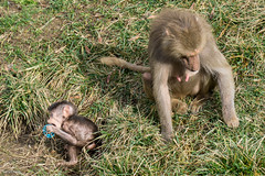 Mother and Baby Baboon (Tracysniche) Tags: california baby west cute animals zoo oakland bay coast mother fluffy son east relationship area baboon norcal bonding