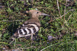 Hoopoe & Leatherjacket