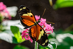 Heliconius hecale (CAscotPhotography) Tags: nature animals closeup butterfly garden insect nikon dof wildlife butterflies depthoffield glasshouse wisley rhswisley rhs d7100 cascotphotography