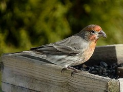 Feb4,2016 061 House Finch male (terrygray) Tags: finch