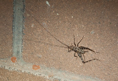 Cave Cricket male (Owen65) Tags: fauna nt alec northernterritory simpsonsgap alicesprings 2016 spotlighting biodiversitymatters