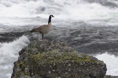 Canada Goose On Rock (menegue) Tags: water rock river moss spokane goose rapids canadagoose riverfrontpark spokaneriver canadaisland
