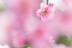 IMG15467_爛漫に咲き (m.hamajima) Tags: flower macro spring pentax bokeh k3 梅 plumblossoms 春 fa100mm