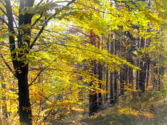 Autumn forest (Stella VM) Tags: autumn trees light mountain nature beautiful yellow forest landscape foliage bulgaria           kladnitsa