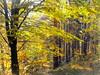 Autumn forest (Stella VM) Tags: autumn trees light mountain nature beautiful yellow forest landscape foliage bulgaria есен листа природа пейзаж планина гора българия витоша светлина кладница kladnitsa есенен