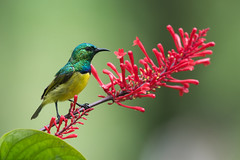 Collared sunbird (Hedydipna collaris) male perched on a red flower (Dave Montreuil) Tags: africa flower male bird animal adult south profile fulllength east malawi nectar perched sideview collared sunbird perching pollinator collaris hedydipna