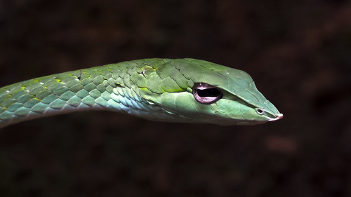 "Green Vine snake • <a style=""font-size:0.8em;"" href=""http://www.flickr.com/photos/125940588@N07/24728594550/"" target=""_blank"">View on Flickr</a>"