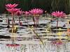 Water Lilies Nymphaeaceae Lotus Flowers Seerosen Thailand (c) (hn.) Tags: copyright flower rural thailand countryside pond flora asia asien heiconeumeyer seasia soasien southeastasia südostasien waterlily lotus waterlilies blume teich blüte northeast isaan isan copyrighted seerose upcountry esan issan lotusflower tümpel nymphaeaceae aquaticplant sisaket lotos lotusblossom ländlich esarn northeastthailand isarn lotusblüte wasserpflanze nordost nordosten issarn lotosblume seerosengewächse sisaketprovince nordostthailand aquaticherbs lotosblossom upcountrythailand khunhan chanwatsisaket provincialthailand tp201516