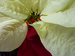 P1000802.edit2 (tcelli) Tags: plant poinsettia panasoniczs3 bottonical