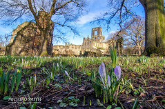 Crocuses at Kirkstall Abbey, Leeds (MichikoSmith) Tags: uk blue winter england sky plant cold west flower tree green church abbey grass weather sign landscape spring nikon ruins purple outdoor yorkshire leeds fair crocus tokina crisp kirkstall