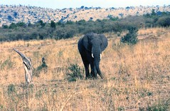 African Elephant, Serengeti (Animal People Forum) Tags: africa wild elephant animals outside outdoors african elephants serengeti mammals africanelephant freeranging